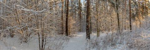 冬天有一棵树的杉木森林全景在霜降雪神奇大气  免版税图库摄影