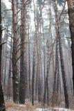 冬天有雾的杉木森林在背景中 免版税库存图片