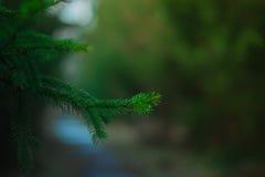 冬天杉木与一棵被弄脏的圣诞树的深绿色背景分支 免版税库存照片