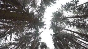 冬天杉木森林照相机向上被指挥往树的冠 股票视频