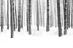 冬天杉木森林黑白照片  库存图片