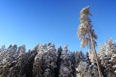 冬天杉木森林 库存照片