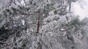 冬天杉木 免版税库存照片