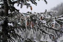 冬天杉树 免版税图库摄影