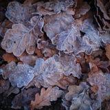 冬天来临!用白色霜盖的美丽的叶子 库存图片