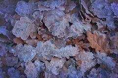 冬天来临!用白色霜盖的美丽的叶子 免版税库存照片