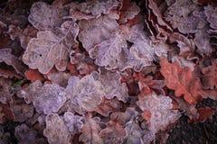 冬天来临!用白色霜盖的美丽的叶子 免版税库存图片