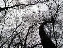 冬天树剪影反对天空的 免版税库存图片