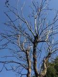 冬天树枝杈 免版税库存照片