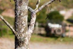 冬天树-巴西 库存照片