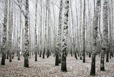 冬天桦树在秋天 免版税库存图片