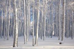 冬天桦树在阳光下 免版税图库摄影