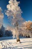 冬天桦树在Buzludja,保加利亚 免版税库存照片