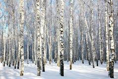 冬天桦树木头在阳光下 免版税库存图片