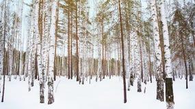 冬天桦树树丛 免版税库存图片