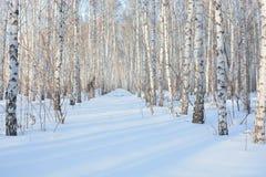 冬天桦树树丛 库存图片