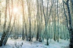 冬天桦树森林在俄罗斯 库存照片