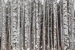 冬天桦树森林 免版税库存图片