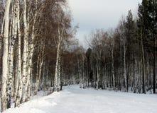 冬天桦树森林 免版税图库摄影
