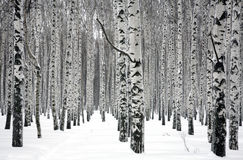 冬天桦树 库存图片