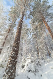 冬天森林在一个晴天 免版税库存图片