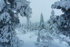 冬天森林在北芬兰 免版税图库摄影