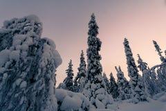 冬天森林在北芬兰 免版税库存照片