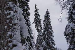 冬天森林在沃洛格达州 免版税库存图片