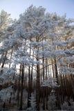 冬天森林在白俄罗斯,东欧 免版税图库摄影