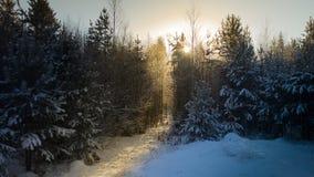 冬天森林日落点燃蓝色黄色 库存照片