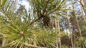 冬天森林背景 森林横向杉木 大美丽的绿色松木 免版税库存图片