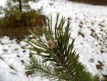冬天森林背景 森林横向杉木 大美丽的绿色松木 库存图片