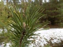 冬天森林背景 森林横向杉木 大美丽的绿色松木 免版税库存照片
