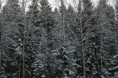 冬天森林背景 免版税库存照片