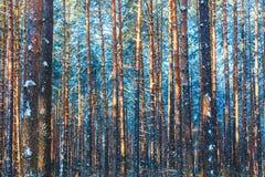冬天森林自然雪森林背景 免版税库存图片