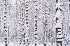 冬天森林许多积雪的杉树在多云冬日 库存图片