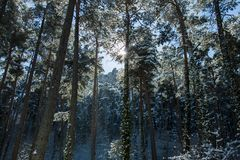 冬天森林风景在卡塔龙尼亚 库存图片