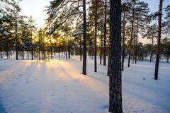 冬天森林,在日落的太阳的光芒 免版税库存图片