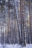 冬天森林,杉木森林 库存图片