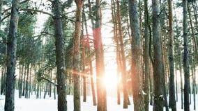 冬天森林,自然在冬天,很多树,由后照,太阳` s光芒通过森林发出了光线 股票视频