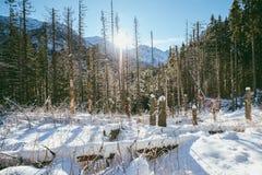 冬天森林,高Tatras 免版税库存照片
