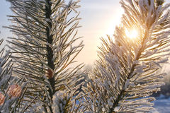 冬天毛皮结构树 免版税库存照片