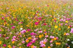 冬天波斯菊bipinnatus美丽的草甸盛开背景风  库存图片