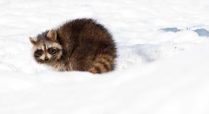 冬天浣熊。 免版税库存图片