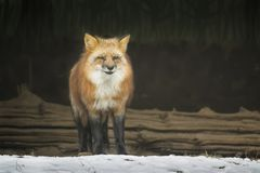 冬天狐狸 库存照片