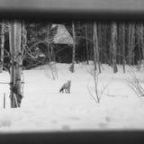 冬天狐狸 免版税库存图片