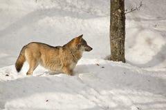冬天狼 免版税库存图片