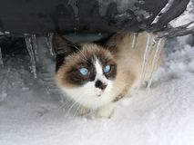 冬天猫 图库摄影