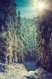 冬天用雪盖的高杉木森林风景在早晨阳光 免版税库存照片