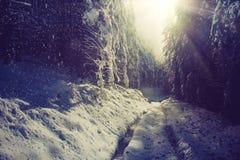 冬天用雪盖的高杉木森林风景在早晨阳光 图库摄影